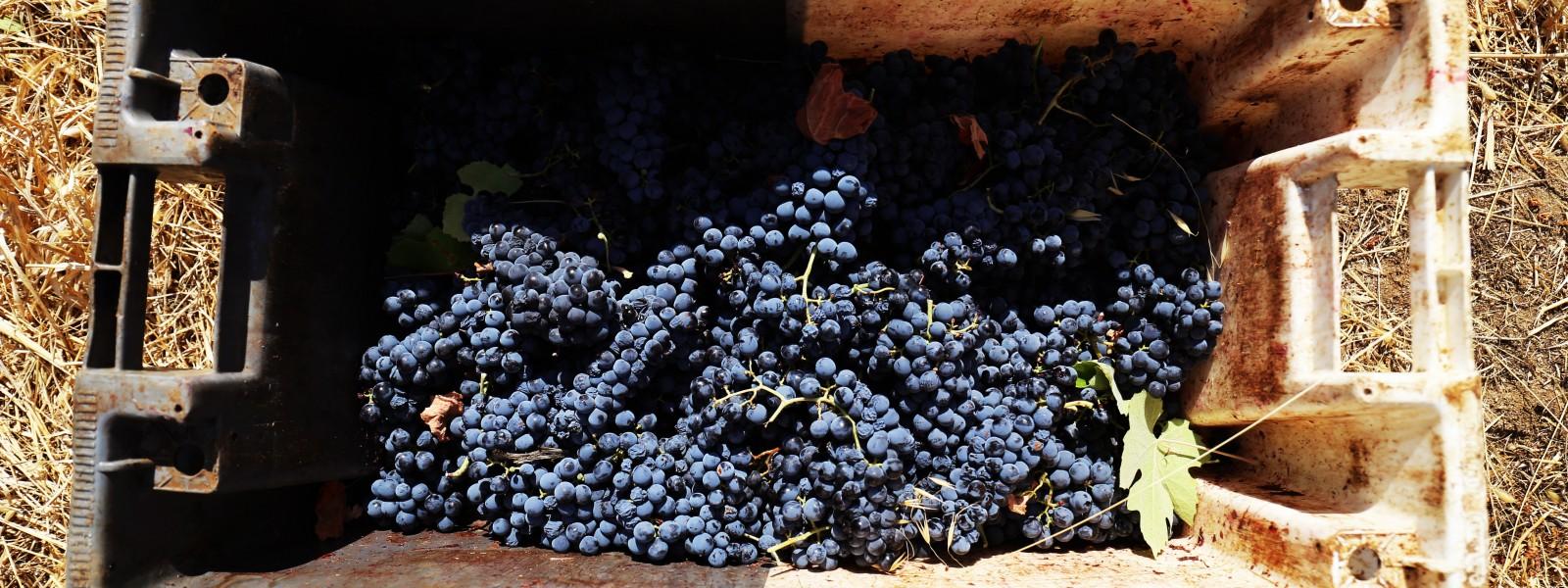 uvas de galileu