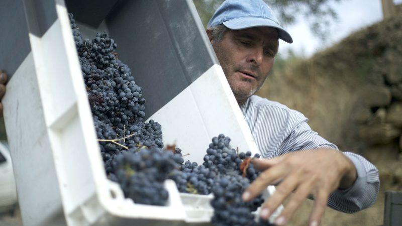 transporte-e-cuidado-com-as-uvas