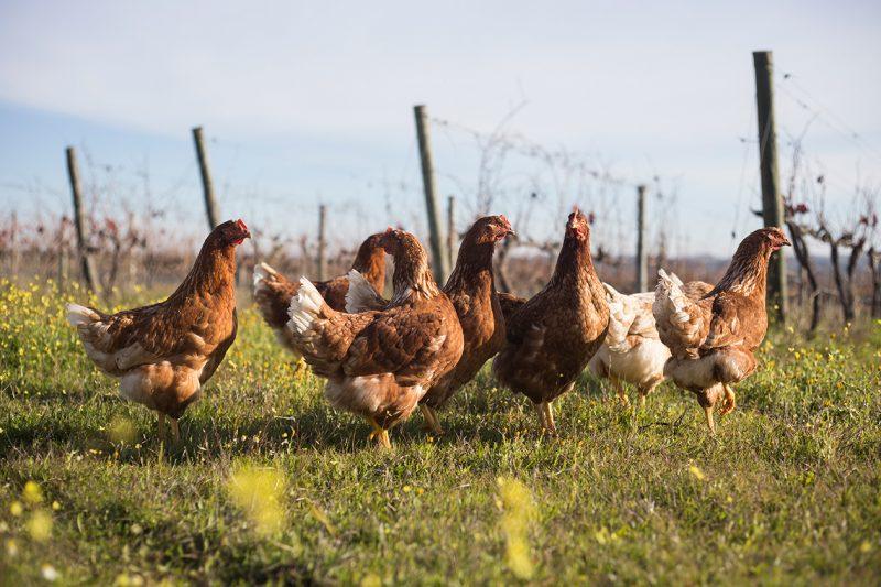 quem nos ajuda são as galinhas